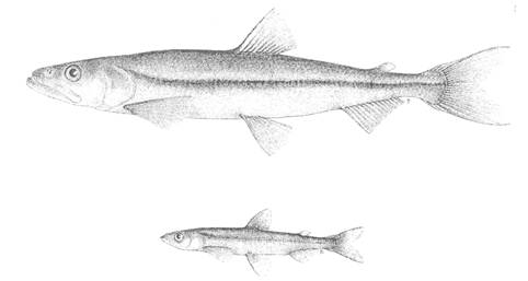 Illustrations of the Lake Utopia Large and Small Rainbow Smelt Osmerus mordax
