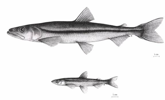 Illustrations of the Lake Utopia Large and Small Rainbow Smelt. Both images show mature males