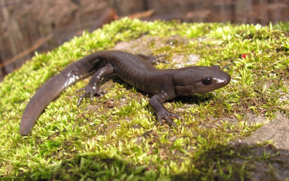 image of Jefferson Salamander
