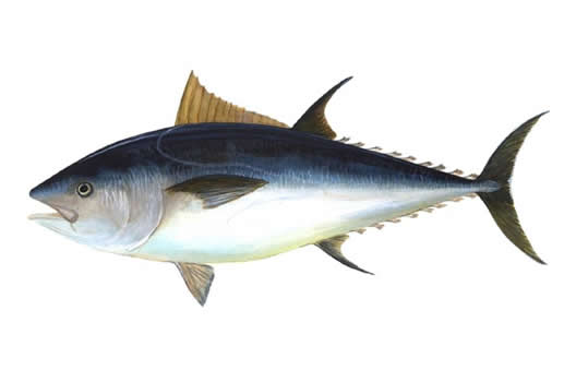 Illustration of the Atlantic Bluefin Tuna Thunnus thynnus.