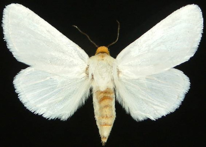 Dorsal view of White Flower Moth (Schinia bimatris)