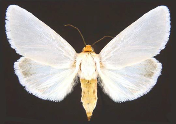 Figure 2. Dorsal view of White Flower Moth (Schinia bimatris)