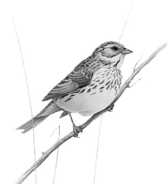 Savannah Sparrow, princeps subspecies