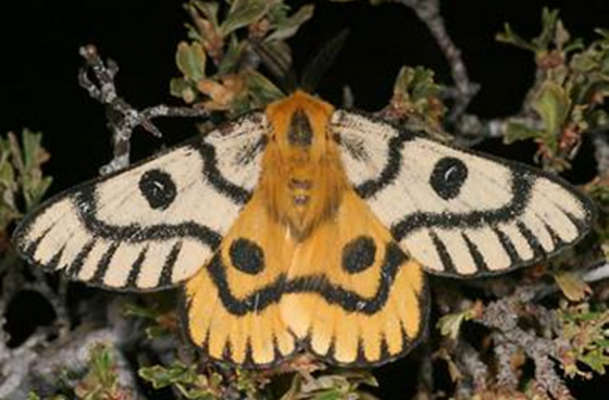 Photo of Nuttall's Sheep Moth