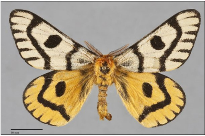 Photo of Adult male Nuttall's Sheep Moth