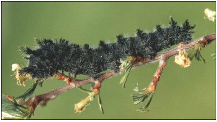 Photo of Late instar larva on Nuttall's Sheep Moth