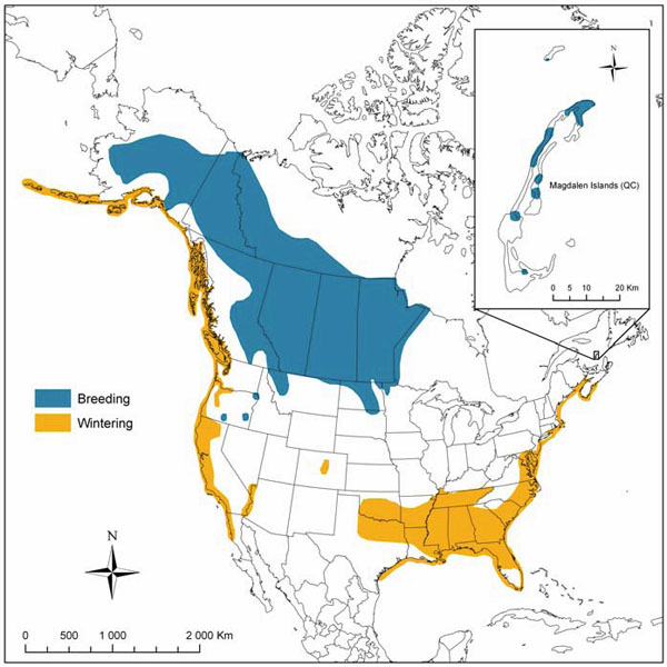 Map showing breeding and winter ranges of the Horned Grebe in North America.