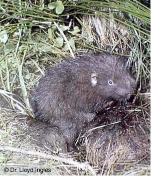 Photo of the Mountain Beaver Aplodontia rufa. This medium-sized rodent has the general appearance of a muskrat. The body is thick and covered with coarse, dark brown fur, and the eyes and ears are small.