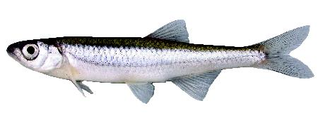 Image of Carmine Shiner, Doug Watkinson, Fisheries and Oceans Canada, Winnipeg