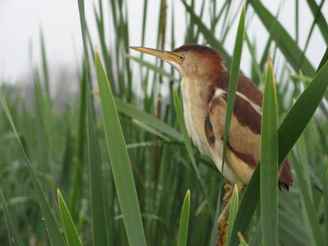 Photo of a Least Bittern Ixobrychus exilis.