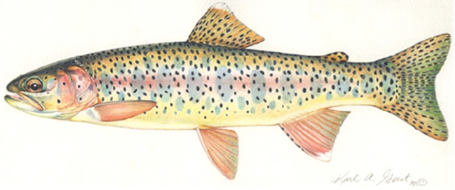 Adult Rainbow Trout