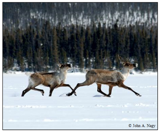 Photo of Woodland Caribou running in snow