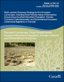 Cover page of publication; Multi-species Recovery Strategy for the Princeton Landscape, including Dwarf Woolly-heads (Psilocarphus brevissimus) Southern Mountain Population, Slender Collomia (Collomia tenella), and Stoloniferous Pussytoes (Antennaria flagellaris) in Canada – 2013