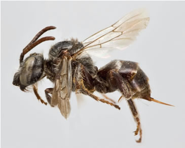 Photo of a Macropis Cuckoo Bee Epeoloides pilosulus.
