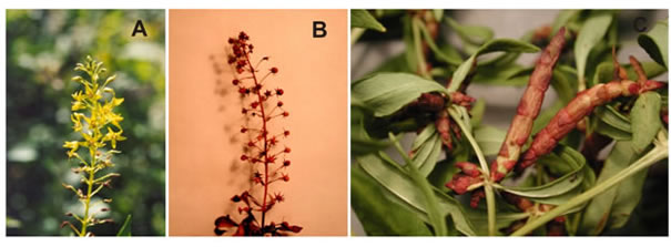 Photos showing aspects of reproduction in Lysimachia terrestris. Image A shows flowering; Image B shows the seed capsules produced during sexual reproduction; Image C shows the bulbils produced during asexual reproduction.
