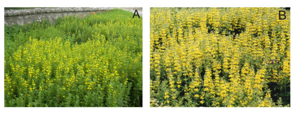 Photos of introduced Lysimachia growing in an urban park flowerbed in Guelph, Ontario (image A) and beside a road in a rural setting in Digby County, Nova Scotia (image B).