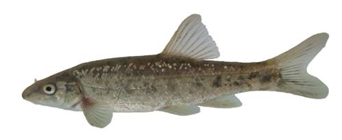 Photo of a Umatilla Dace Rhinichthys umatilla collected from the Similkameen River in 2006.