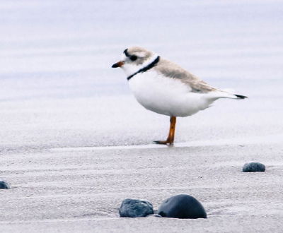 This is a photograph of a Piping Plover standing on beige sand. It is a side view of the plover, who is facing left. The Piping Plover has a light brownish-gray back with a white underside. There is a black band across its forehead and a black ring around its neck. Its eye is black and its bill and legs are dark orange. There is a black spot on the tip of its tail. The plover is standing on pale greyish brown sand. There are three small dark gray rocks in the foreground. The background is a blurred sandy shoreline.