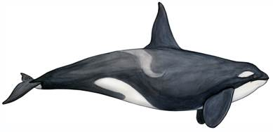 drawing of killer whale