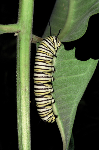 Figure 1 is a picture of a monarch larvae feeding on milkweed.