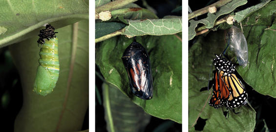 Figure 2 is a series of three pictures showing the maturation of a Monarch pupae towards emergence into a butterfly.