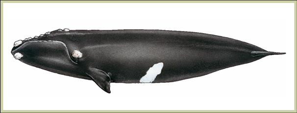 Drawing of North Pacific Right Whale