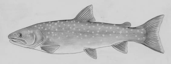 Illustration of the Bull Trout, Salvelinus confluentus, lateral view. This long slender fish has a comparatively large head and jaws. There are pale round spots along the flank and back, and the belly is pale. The tail fin is slightly forked.