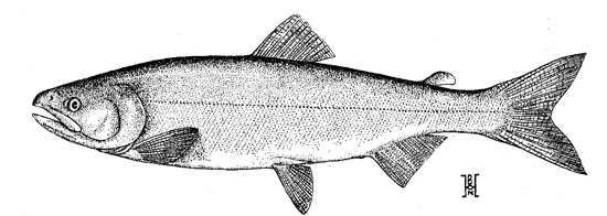 Drawing of an Adult Sockeye Salmon. Reproduced from Hart 1973.