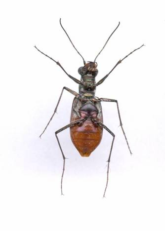 Photo of an adult Cobblestone Tiger Beetle giving a ventral view.