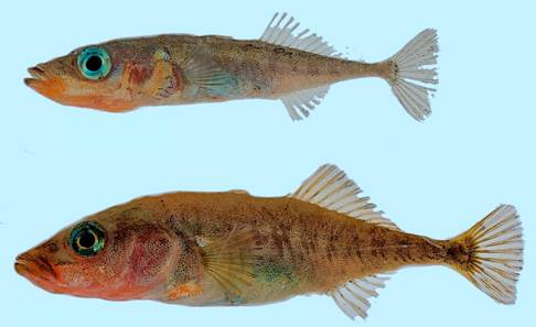 Photo of Paxton Lake Benthic (lower image) and Limnetic (upper image) Threespine Sticklebacks. Both individuals are males.