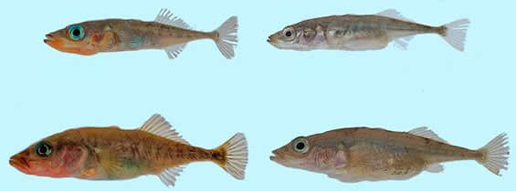 Photo of Paxton Lake sticklebacks showing a Limnetic male (top left) and female (top right) and a Benthic male (bottom left) and female (bottom right).