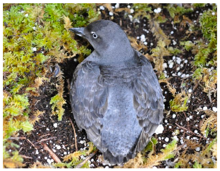 Photo of a Cassin's Auklet