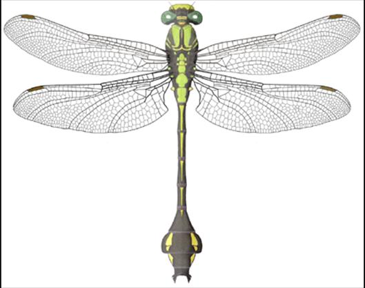 Colour illustration of the male Skillet Clubtail (dorsal view).