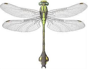 Colour illustration of the male Skillet Clubtail Gomphus ventricosus.