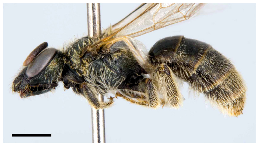 Photo of a female Sable Island Sweat Bee specimen