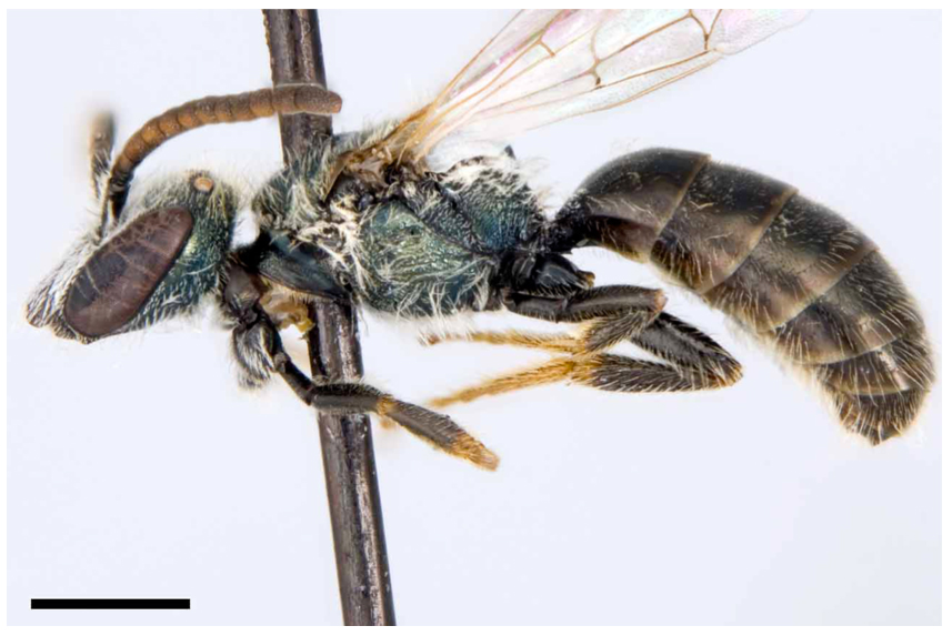 Photo of a male Sable Island Sweat Bee specimen