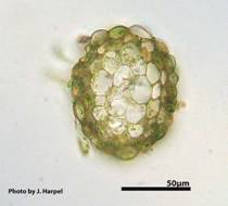 Photos of Roell's Brotherella Moss showing stem cross-section (image 1b)