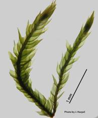 Photos of Roell's Brotherella Moss showing deciduous shoots (image 1d)