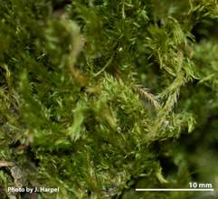 Photos of Roell's Brotherella Moss showing deciduous shoots (image 2a)