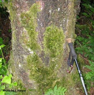 Photo of Roell's Brotherella Moss habitat on a birch tree.