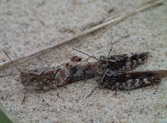 Photo of Lake Huron Grassphoppers