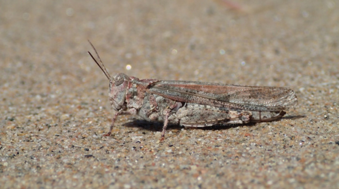 Photo of Female Lake Huron Grasshopper .