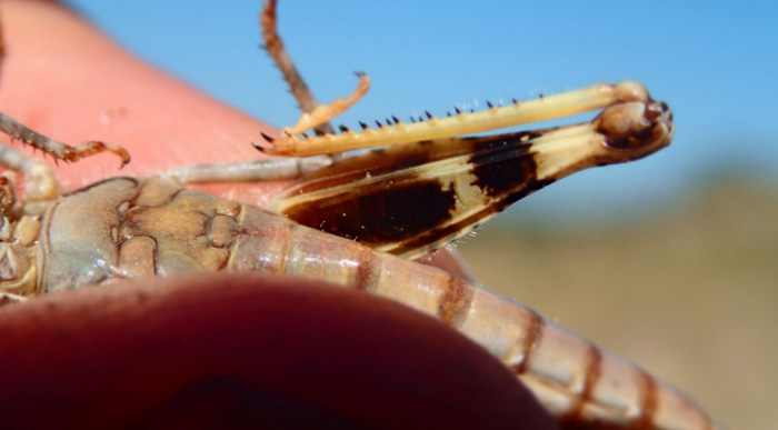 Photo of Lake Huron Grasshopper showing the dark blotch at the base of the inside face of the femur