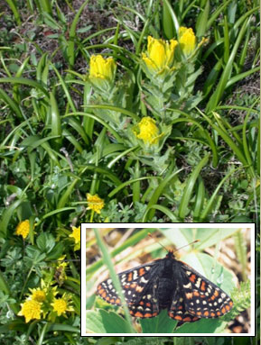 Golden Paintbrush & Bear's-foot Sanicle © Matt Fairbarns; Taylor's checkerspot © J.Miskelly.