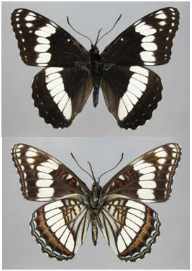 Two photos of the male Weidemeyer's Admiral Limenitis weidemeyerii showing the dorsal (upper image) and ventral (lower image) surfaces. The upper surface of the wings is black, while the underside has extensive greyish-white markings. A bold white band is present on both surfaces of the fore and hind wings. Small white spots are evident on the outer margins of the wings.