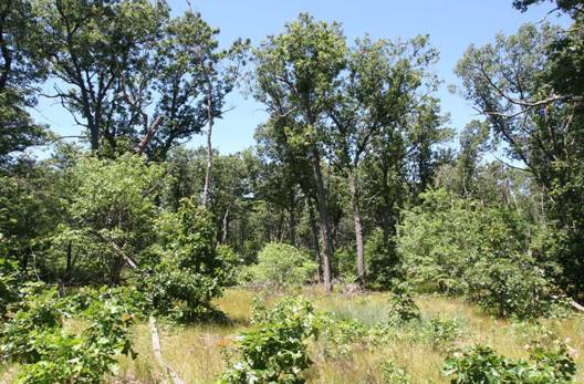 Photo showing a managed (previously burned) Black Oak savanna at Turkey Point Provincial Park where Virginia Goat's-rue forms a frequent component of the goundcover.
