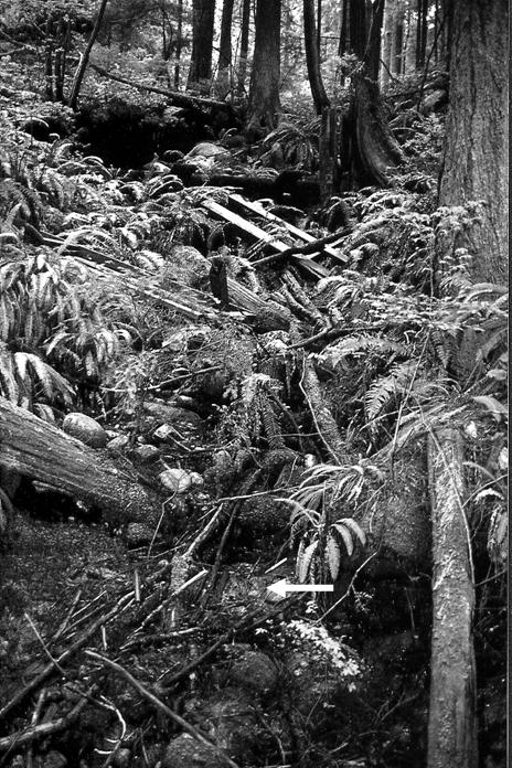Black and white photo of Poor Pocket Moss general habitat at the Lynn Canyon site. The single clump of the species is also shown.
