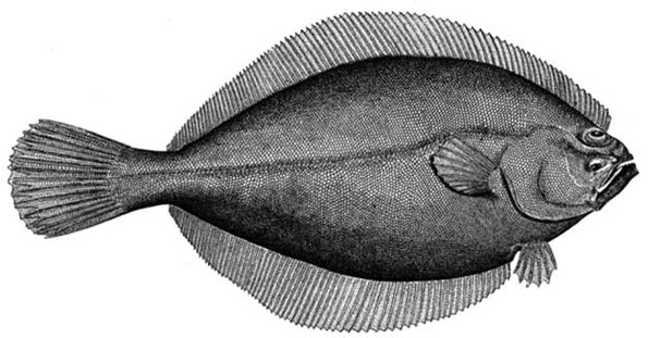 Line drawing of an American Plaice Hippoglossoides platessoides