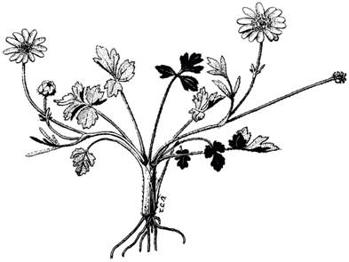 Line drawing of a California Buttercup Ranunculus californicus
