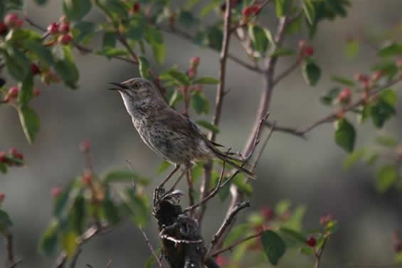 Photo of the Sage Thrasher perched on a branch.